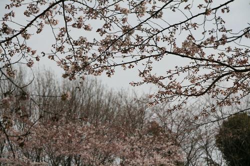 桜と白い空