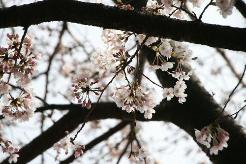 桜の蕾と花