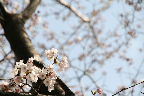 桜のピンクと空の青
